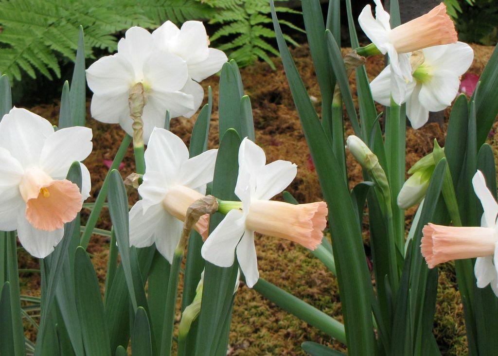 Daffodils at Frederik Meijer Gardens