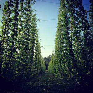 Photo Courtesy of Michigan Hop Alliance