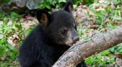 Bear Hollow Bear