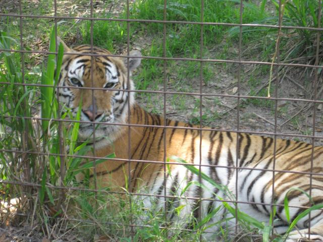 "Bella the ""beautiful"" rescued Tiger"