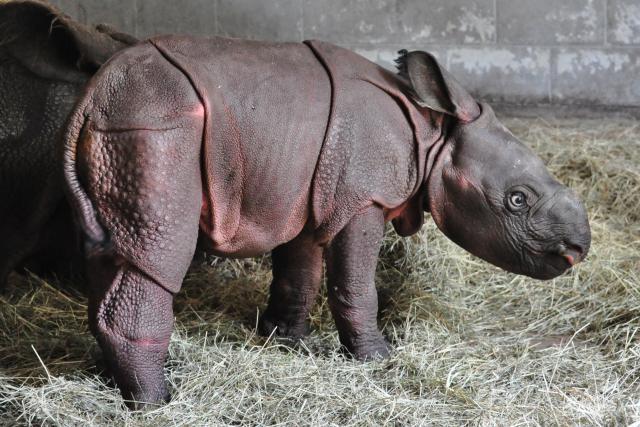 new rhino at the Zoo!