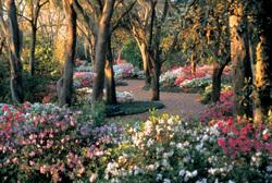 The Beautiful Azalea Path