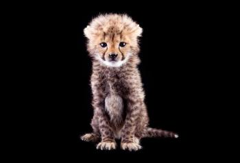 The Cutest baby cheetah EVER