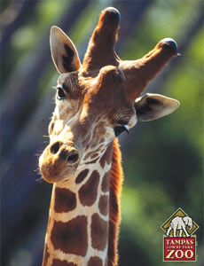 Now that is one Handsome Giraffe...