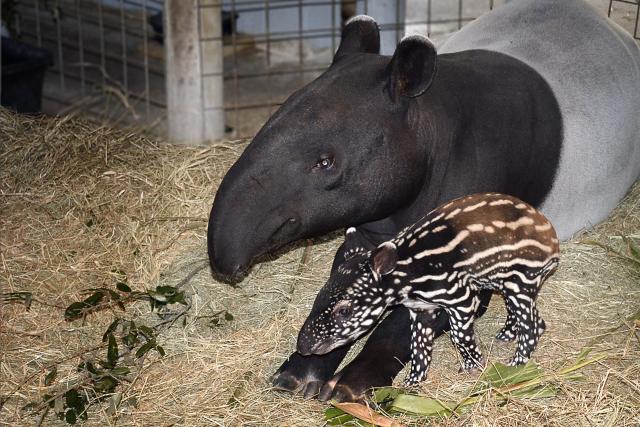 zoo tapir baby