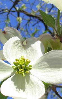 Ashevilles wildflower bloom schedule outdoor activities dogwood mightylinksfo