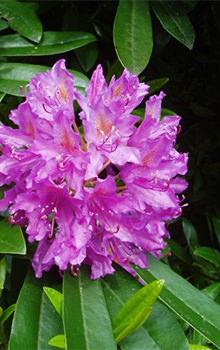 Ashevilles wildflower bloom schedule outdoor activities purple rhododendron mightylinksfo