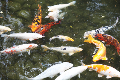 Hidden gem kasugai garden park for Koi fish pond kelowna