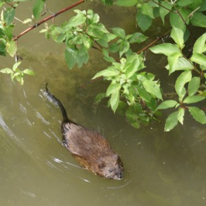 Muskrat at Fenner Nature Center in Lansing