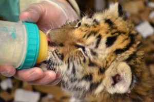 Baby Tigers at Lansing Potter Park Zoo