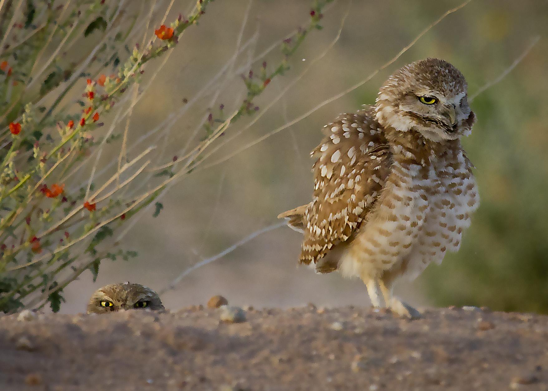 Owls at Veterans