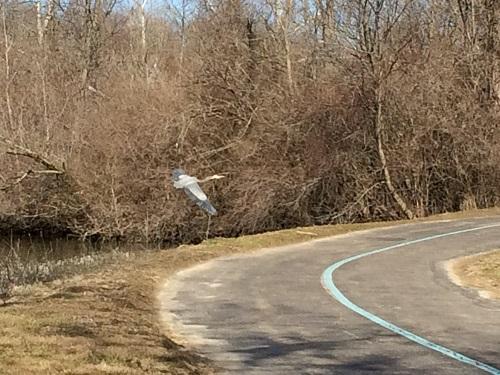 Hummel Park blue heron