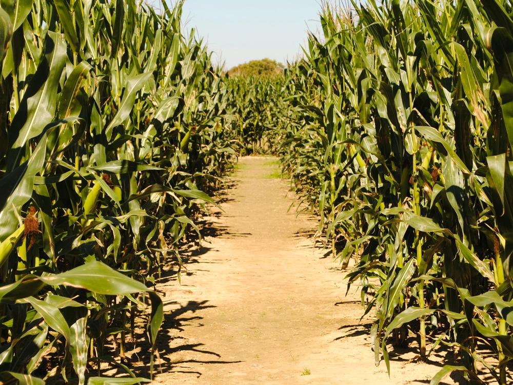 Beasley Orchard's Corn Maze, Danville, Indiana