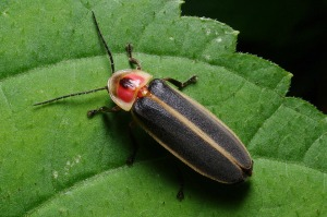 Learn more about these beautiful bugs at the Firefly Night Hike.