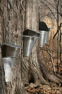 Check out the Sugar Bush at McCloud Nature Park during Maple Sirup Days!