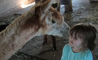 Montrose Alpaca Farm Brownsburg Indiana Alpaca Kisses