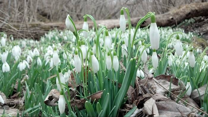 Discover wildflowers like these snow drops during Spring Wildflower Hikes at Sodalis and McCloud Nature Parks. (Photo courtesy of Hendricks County Parks and Recreation)