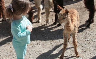Montrose Farms Alpaca Ranch Brownsburg Indiana Baby Alpaca with Girl