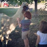 Llama at Hogan Farms in Brownsburg, Indiana