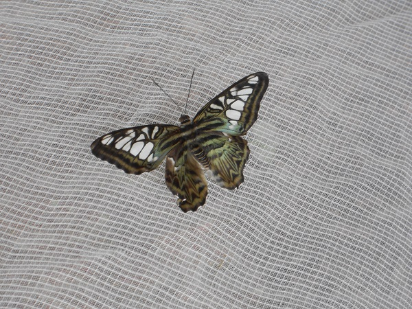 White and black butterfly rests on the tent wall