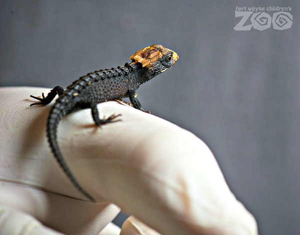 A baby crocodile skink perches on the gloved finger of a caregiver