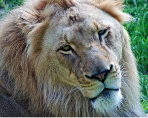 The official Fort Wayne Children's Zoo portrait of Bill the African Lion