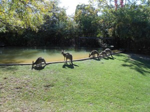 The Fort Wayne Children's Zoo has a number of eastern grey kangaroos that like to hop around the Australian Adventure park.