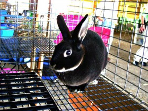 One of the smaller rabbits at the fair - but cute!