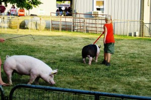 4H kids also show animals - here's a boy practicing with the hogs.