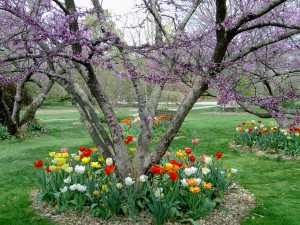 Tulips in assorted colors bloom at Foster Park each spring.