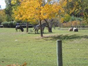 zebras and wildebeests - Copy