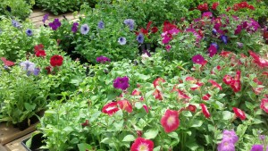 One of the many options at Cox's Plant Farm for adding color to your yard.