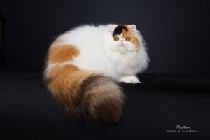 This is one of many cats you will see at the Indy Cat Club Show.