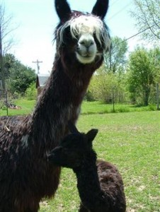 An alpaca mother and child at Montrose Farms. (Photo courtesy of Montrose Farms)