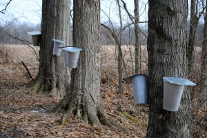 Maple trees are tapped at McCloud Nature Park for Maple Sirup Days!
