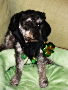 My dog Louis all ready for St. Patrick's Day.
