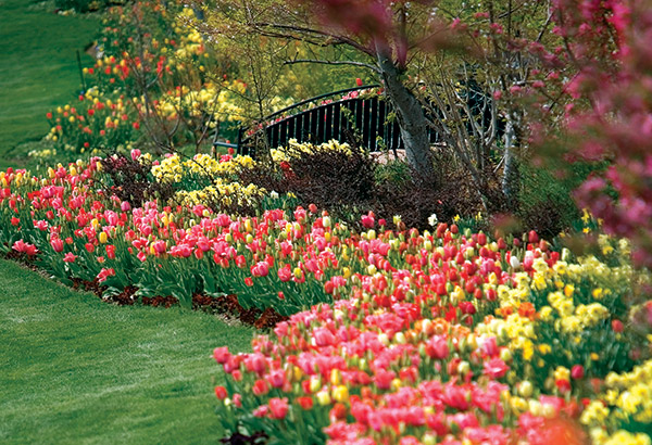 Tulips surrounding a bridge at Thanksgiving Point