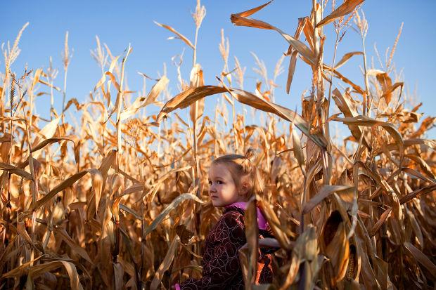 A little girl wandering the McCoard's Corn Maze