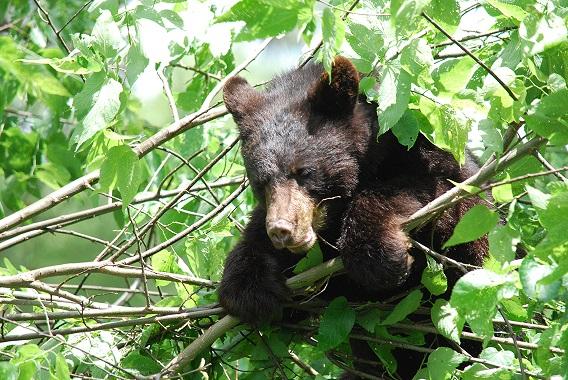Bear cub at the Topeka Zoo