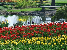 Tulips (yellow, then red, then white) and water.