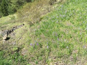 Camas on the Hillside