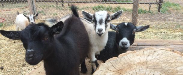 Three Leaf Farm Goats