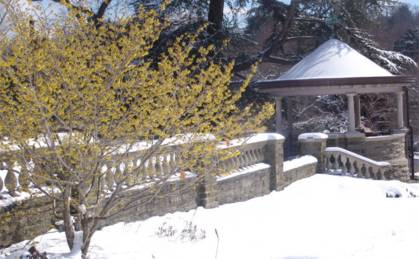 There won't be any snow this weekend, but the witchhazel is still in bloom at Morris Arboretum.