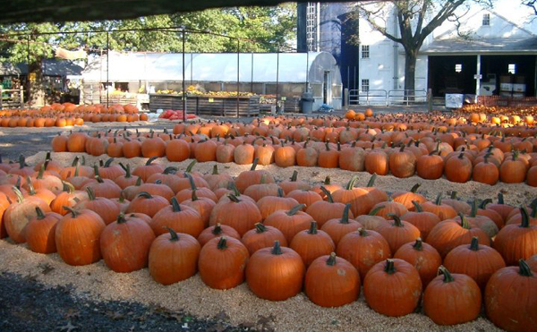 can you spot the ghoulishly cool white pumpkins?