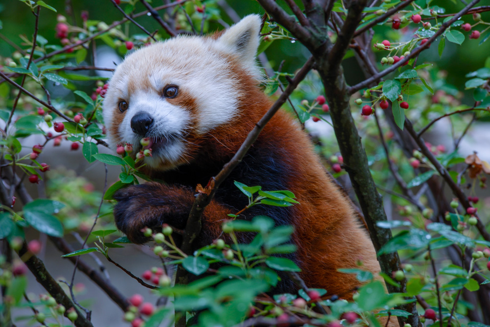 Red Pandas are the newest attraction at Elmwood Park Zoo