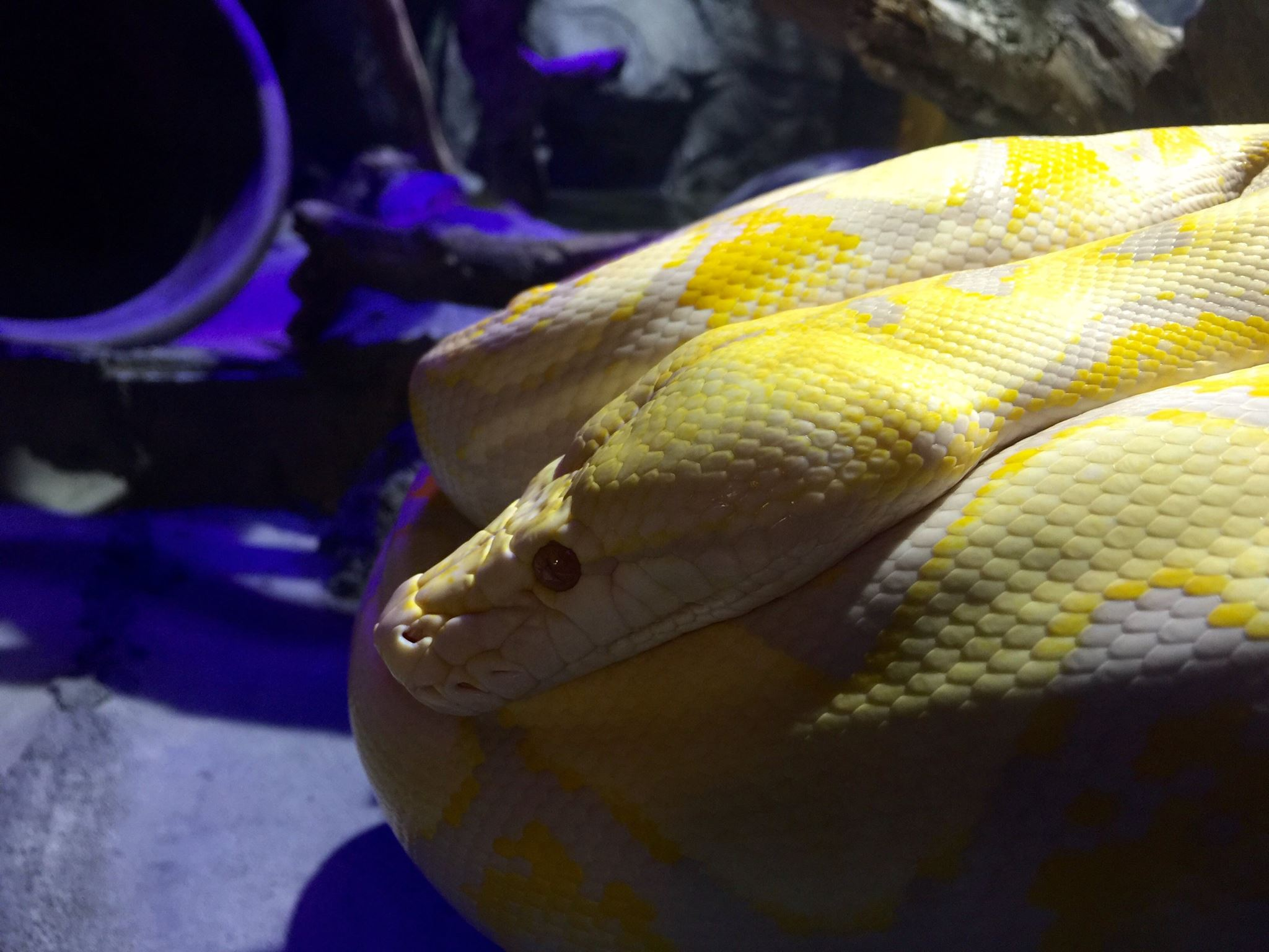 This 11-foot python is one of the many creatures you'll meet