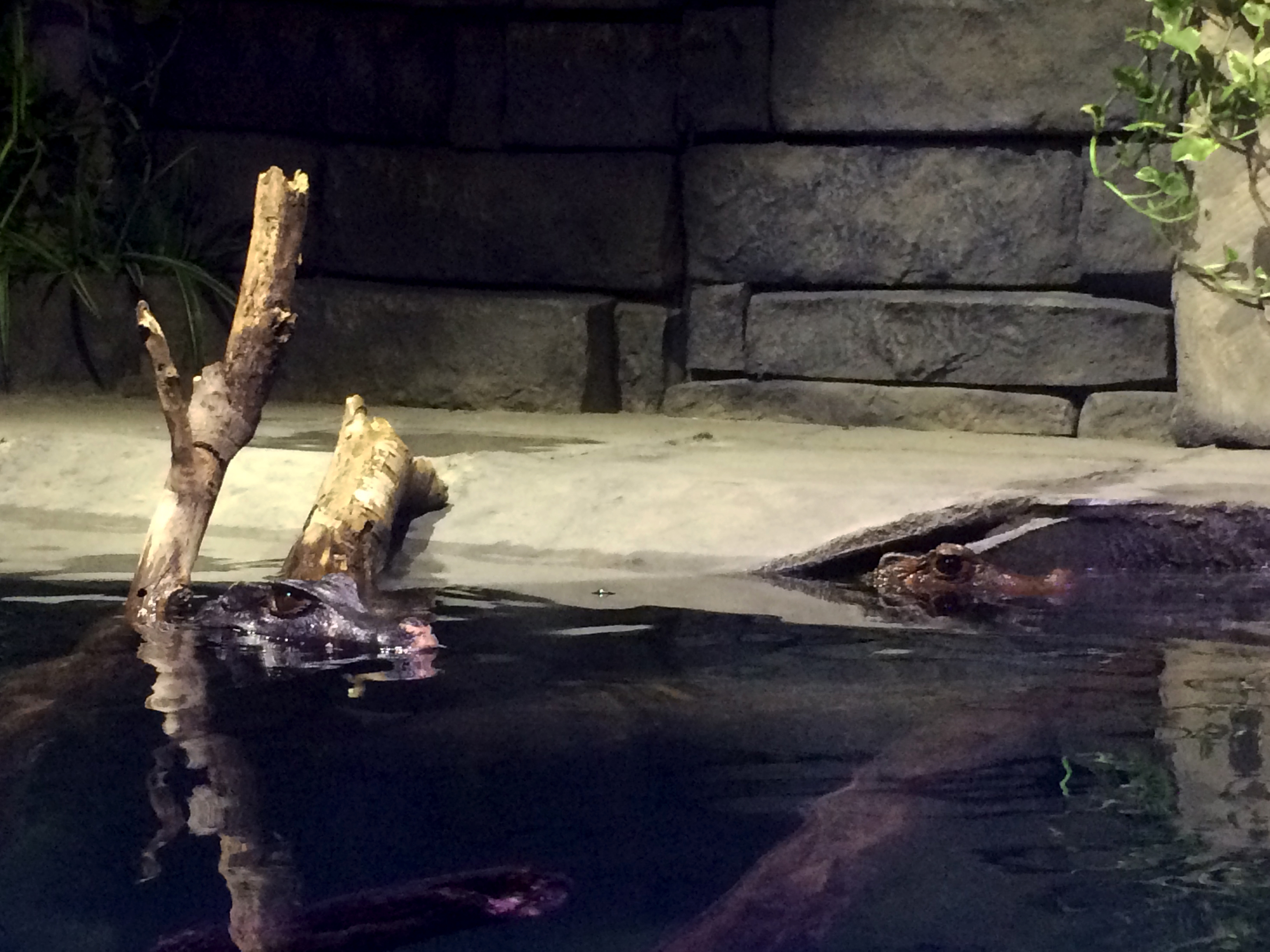 Skully and Mulder, Cuvier's dwarf caimans