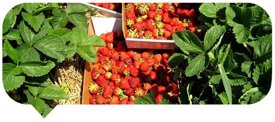 Strawberry Blurb