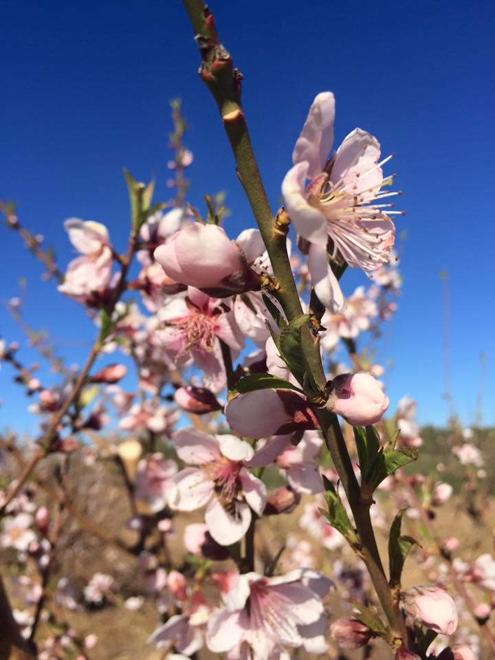 Schnepf Farms Peach Blossom
