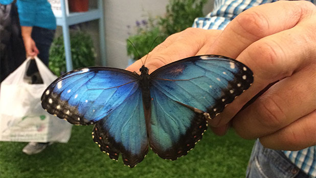 NYS Fair - Blue Morpho butterfly